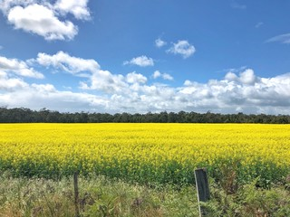 Canola field in country Victoria Australia on a sunny day