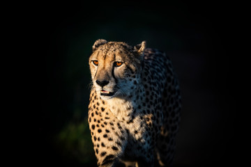 Cheetah standing in Phinda private game reserve at night
