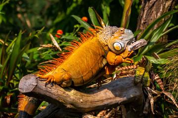 Kormoran, Echse, Reptil