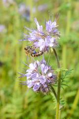 Phaceliablüte - Bienenfreund  - Honigbiene - Gründünger