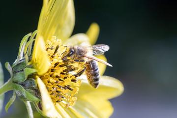 Biene bestäubt Stauden-Sonnenblume - Lemon-Queen - Helianthus