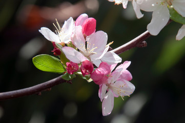 Sydney  Australia,  spring blossoms of a fruit tree