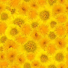 background of dandelion flowers and foalfoot