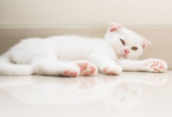 Cat Scottish white fluffy cute little animal on floor