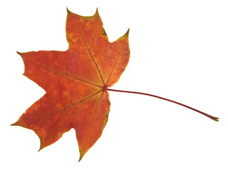 yellow maple leaves isolated on white background