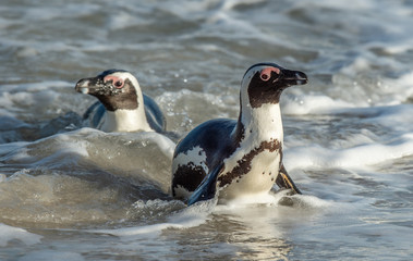 African penguins walk out of the ocean on the sandy beach. African penguin also known as the jackass penguin and black-footed penguin. Sciencific name: Spheniscus demersus. South Africa.
