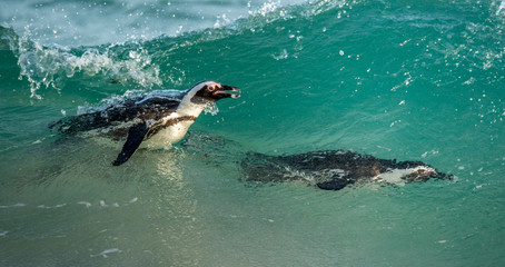 Swimming african penguins. The African penguin Scientific name: Spheniscus demersus, also known as the jackass penguin and black-footed penguin. Natural habitat. South Africa