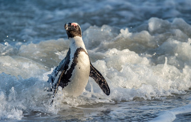 African penguin walk out of the ocean on the sandy beach. African penguin also known as the jackass penguin and black-footed penguin. Sciencific name: Spheniscus demersus. South Africa.