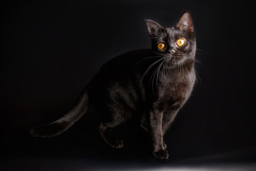 American shorthair cat on colored backgrounds Fototapete