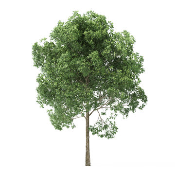 Alder. Tree isolated on white background. 3D rendering.