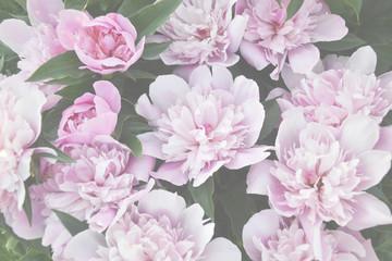 Pink peonies in garden