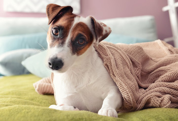 Cute funny dog lying under soft plaid on bed