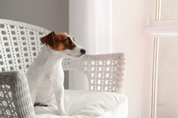 Cute funny dog in armchair at home