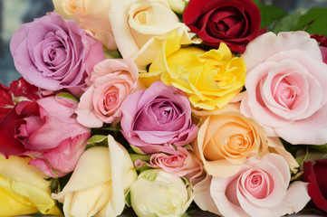 close up of colorful rose for background