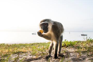 Vervet Monkey feeding on the beach at dawn