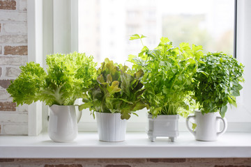Lettuce, leaf celery and small leaved basil. Kitchen garden of herbs.
