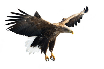 Garden Poster Eagle Adult White-tailed eagle in flight. Isolated on White background. Scientific name: Haliaeetus albicilla, also known as the ern, erne, gray eagle, Eurasian sea eagle and white-tailed sea-eagle.