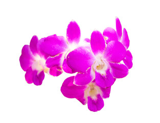 Isolated violet orchid on the white background with clipping path.