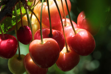 Sweet cherry berries on a tree branch