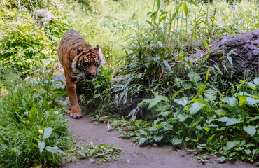 Foto op Canvas Tijger Sumatran tiger (Panthera tigris sondaica) walking down the path in the woods. The tigers are mainly diurnal. They do not often climb trees but cases have been recorded.
