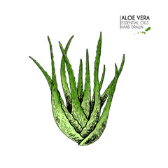 Hand drawn aloe vera bunch. Engraved colored vector illustration. Medical, cosmetic plant. Moisturizing serum, healthcare. Good for cosmetics, medicine, treating, aromatherapy package design skincare.