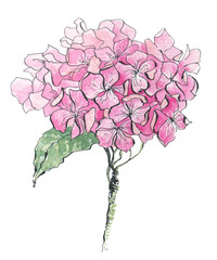 hydrangea watercolor illustration