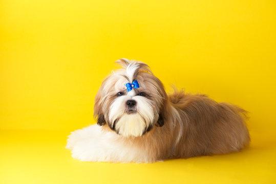 Shih tzu puppy wearing blue bow. Cute shih tzu is lying on the yellow background. Shih Tzu -the Chrysanthemum Dog