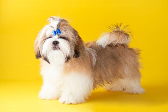 Shih tzu puppy wearing blue bow. Cute shih tzu on the yellow background. Shih Tzu -the Chrysanthemum Dog