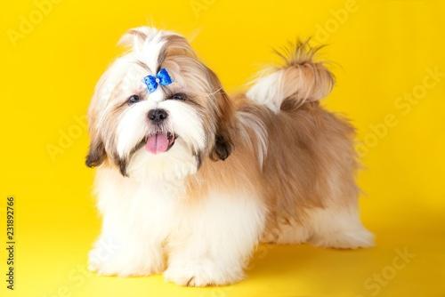 Shih Tzu Puppy Wearing Blue Bow Cute Shih Tzu On The Yellow