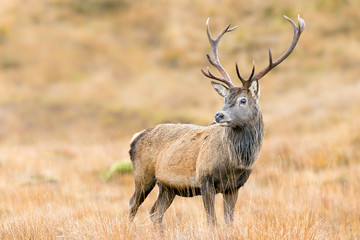 Scottish Red Deer Stag Wall mural