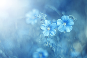 Obraz Beautiful blue flax flowers in a meadow in the sunlight on a gentle background. Pastel colors. Selective, soft focus. Art image. - fototapety do salonu