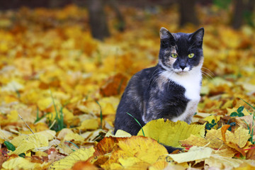 Сat sitting among the bright fallen autumn leaves.