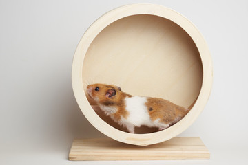 Syrian hamster play with an hamster wheel