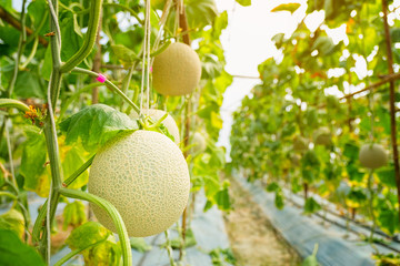 Fresh melon or Cantaloup melon growing in greenhouse farm, which has a sweet taste.