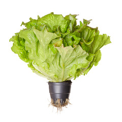Batavia Red, living salad, front view. Young summer crisp lettuce in plastic pot with roots. Reddish green loose leaf lettuce head with crinkled leafs and wavy leaf margin. Lactuca sativa. Macro photo