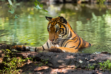 Asian tiger in tropical forest