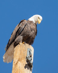 Fototapete - Bald eagle Perched on a Pole