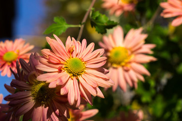 Beautiful pink chrysanthemum as chamomile blooming in the garden, autumn flowers, background