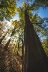 Baumriese, Rotbuche im Gegenlicht, Herbst