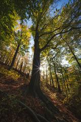Rotbuche im Wald