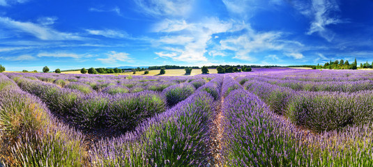 Lavender field in summer countryside