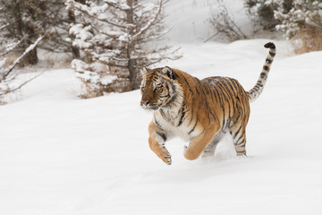 Siberian Tiger in Snowy forest