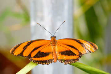 Banded Orange butterlfy (Dryadula phaetusa) on leaf