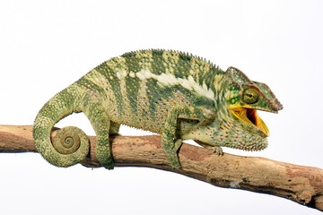 Pantherchamäleon (Furcifer pardalis) - Panther chameleon
