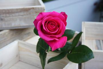 Rosenblüte in Pink