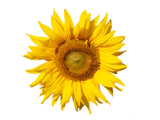 Yellow sunflower. Isolated, macro.