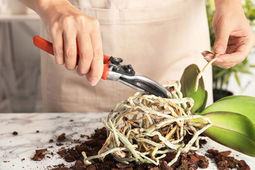 Woman cutting roots of orchid plant on table, closeup