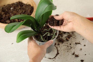 Woman transplanting orchid plant on table, closeup