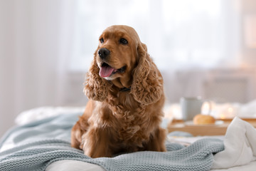Cute Cocker Spaniel dog with warm blanket on bed at home. Cozy winter Wall mural