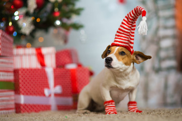 dog Jack Russell Terrier celebrates Christmas under the Christmas tree in striped red white socks